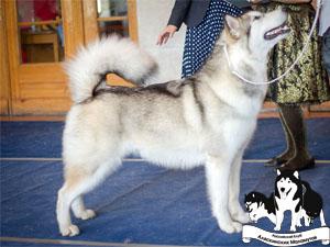 Аляскинский Маламут Fluffy Hugs Armaya Dzhin